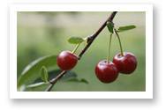 Fresh cherries at Stover's Farms in Berrien Springs, MI