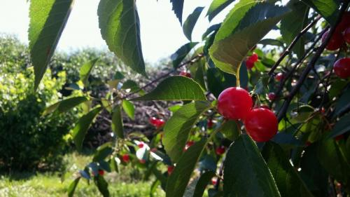 Beautiful cherries at Stover's U-PIC