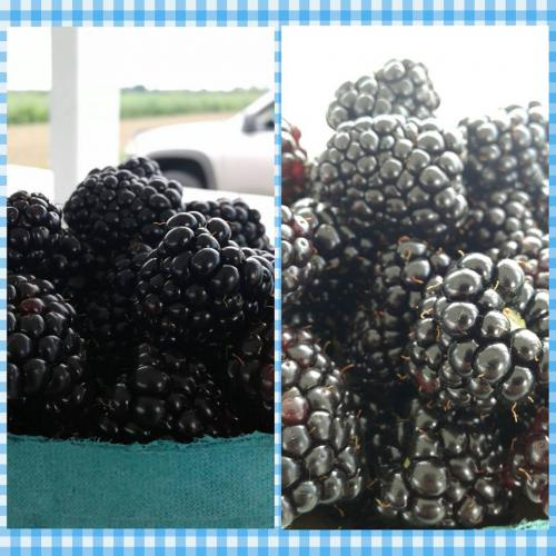 Fresh black raspberries from Stover's U-PIC