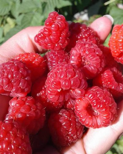 Fresh-picked red raspberries from Stover's U-PIC
