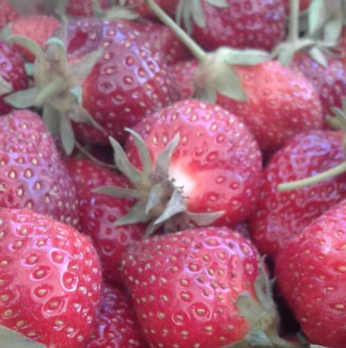 Fresh picked strawberries at Stover's U-PIC