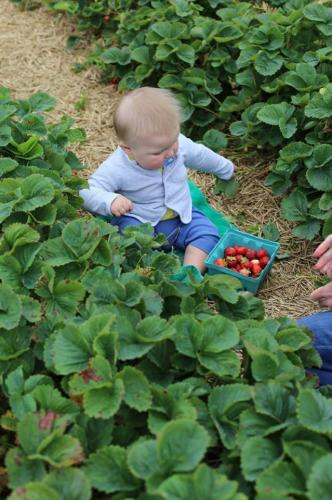 Picking fresh strawberries at Stover's U-PIC - Start them young!